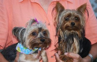 teacup Yorkies for sale in Georgia