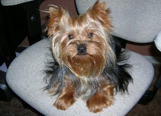 Teacup Dogs For Sale In Georgia - Goldenacresdogs.com