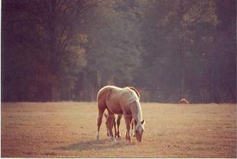 Tennessee Walking Horses on our farm
