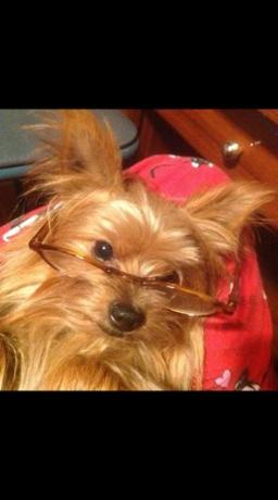 AKC Yorkshire Terriers for sale,welcome,teacup yorkies Ga
